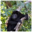 Howler Monkey 5
