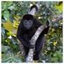 Howler Monkey 9