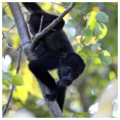 Howler Monkey 11