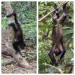 Howler Monkeys 4