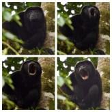 Howler Monkey from Sky Tram