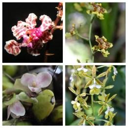 Orchids 2 Monte Alto