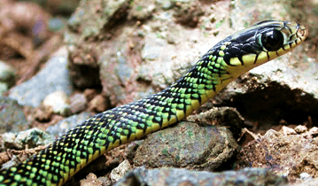 Costa Rica Creatures Series: SNAKES