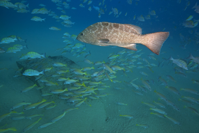 Leopard Grouper (Mycteroperca rosacea), IUCN Vulnerable, Graybar Grunt (Haemulon sexfasciatum) and Amarillo Snapper (Lutjanus argentiventris), Cabo Pulmo National Park, Sea of Cortez (Gulf of California), Mexico, November
