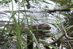 La bióloga logró también fotografíar nutrias en el río, que también están en peligro