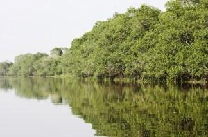 Este es el manglar en el afluente San Antonio, donde se logró tomar las fotos de los manatíes.