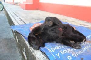 Una familia encontró en la carretera en ampliación (Villahermosa-Escárcega) una mona adulta atropellada con una cría la cual todavía estaba viva.  El bebé se encontraba en un estado físico de gravedad con costillas y otros huesos fracturados. Ambas murieron.