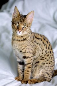 It is costly to buy a Savannah Cat