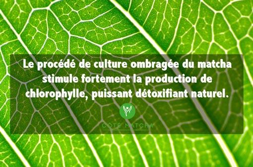 vertus thé vert matcha detox chlorophylle