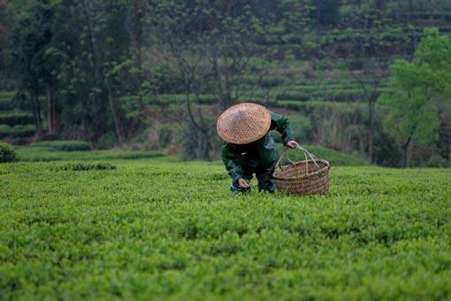 récolte de feuille de thé matcha