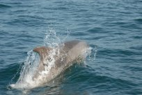 Un grand dauphin venu saluer Targazh