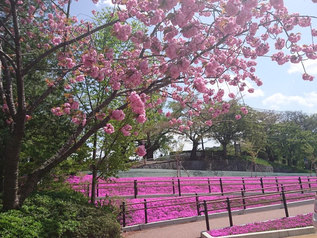 盛岡市高松の池駐車場芝桜