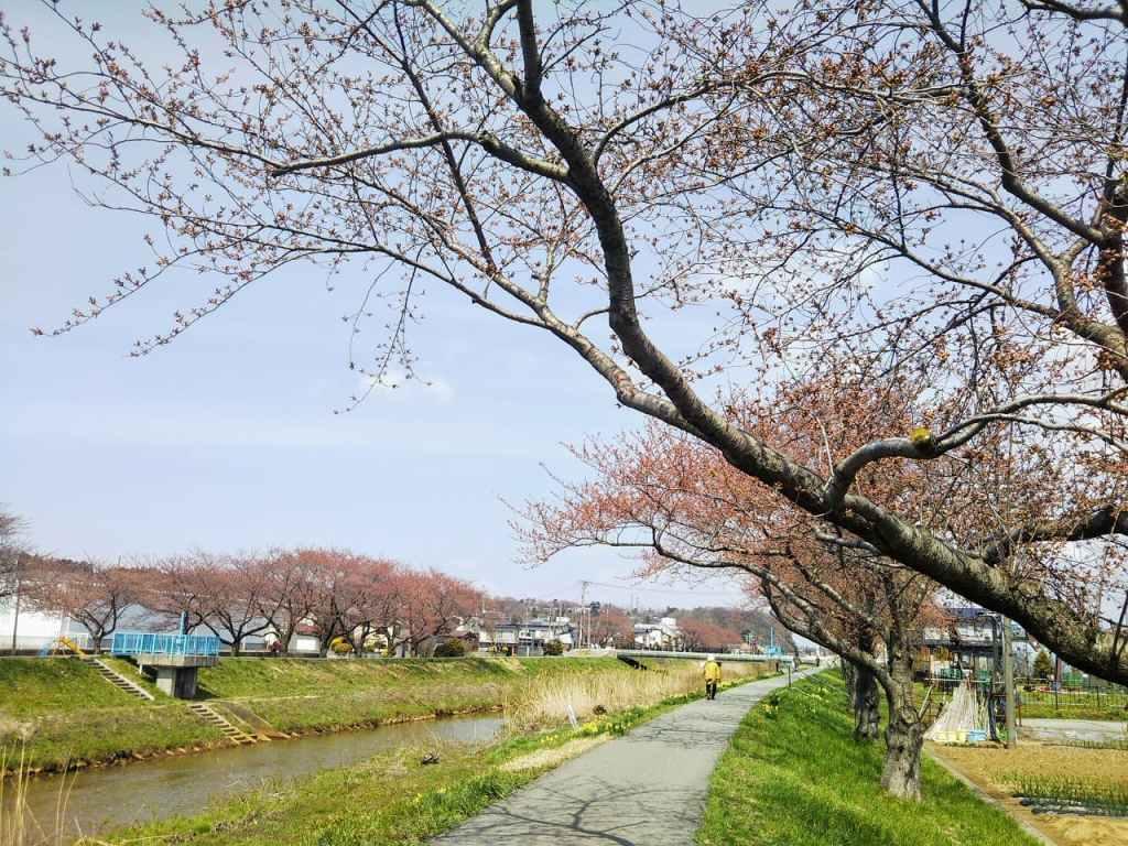 秋田市草生津川の桜2020年4月7日