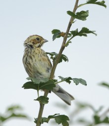Reed Bunting (Dave Soons)