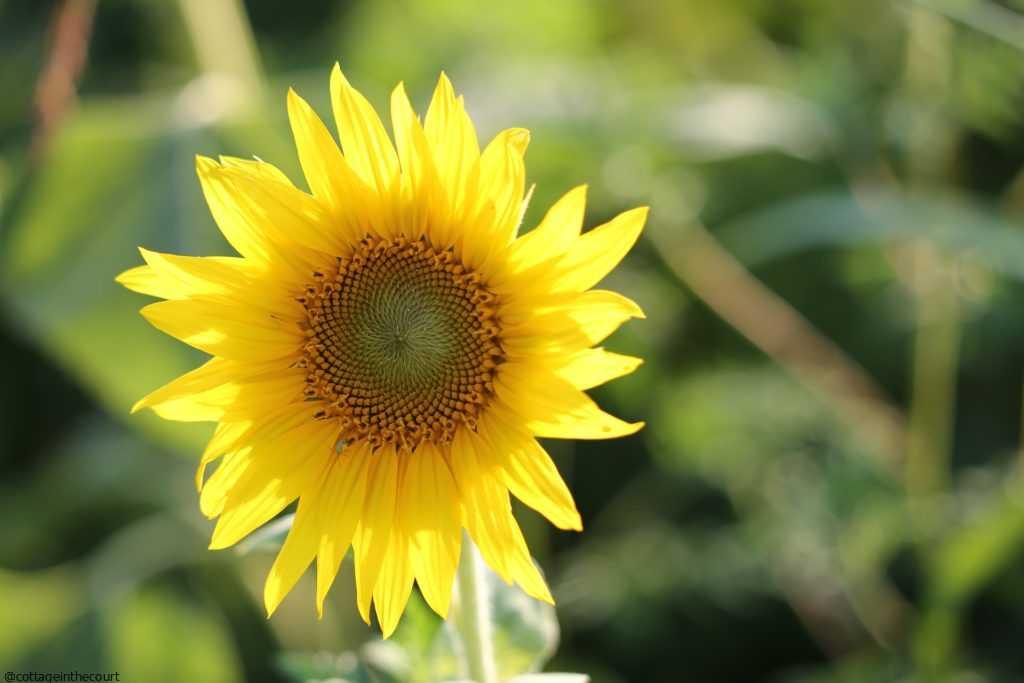 This image has an empty alt attribute; its file name is SUNFLOWER-1024x683.jpg