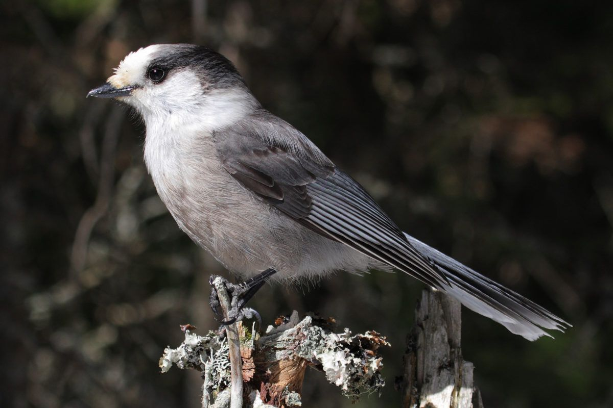 Gray Jay Renamed Canada Jay In Hopes Of Making It The