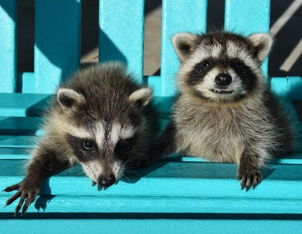 10 fascinating facts about raccoons | Cottage Life