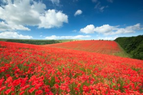 Poppyfields in the South Downs