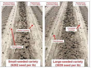 https://i1.wp.com/cotton.ces.ncsu.edu/wp-content/uploads/2019/03/planting-depth-by-seed-size-photos-2017.jpg?resize=351%2C263&ssl=1