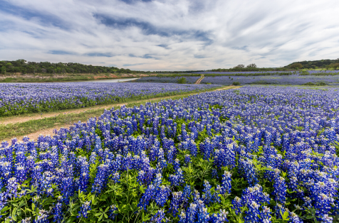Texas Bluebonnets in full bloom for as far as the eye can see.