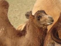 Camel Herd Gobi Desert Mongolia