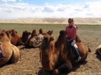 Camel herd Khongor Mongolia Gobi
