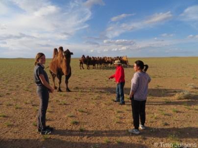 Camel Herd Mongolia Gobi Desert