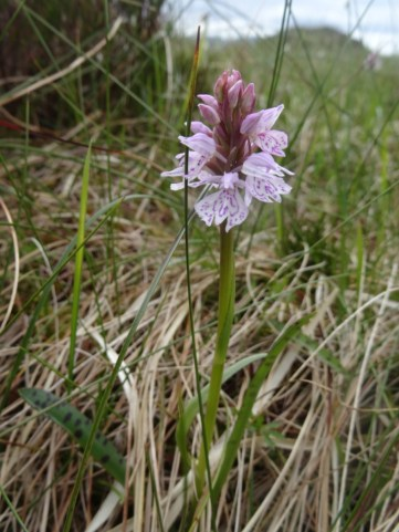 A heath spotted orchid.