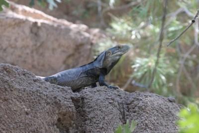 Un iguane étonné de voir des touristes en pleine après-midi... il fait plus de 40° !