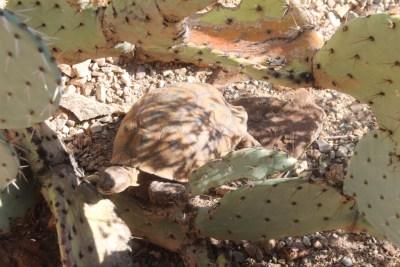 Une tortue qui n'a pas peur des piquants