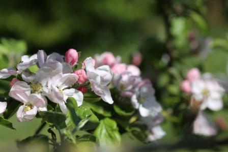 Apple Blossom 04
