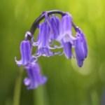 Bluebell Thumbnail