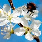 Damson Blossom Thumbnail