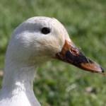 Duck Thumbnail