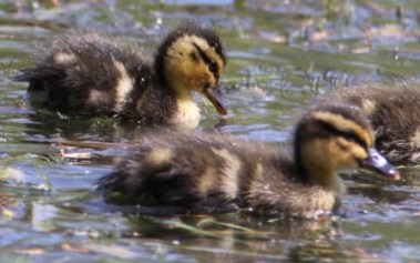Ducklings 03