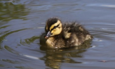 Ducklings 04