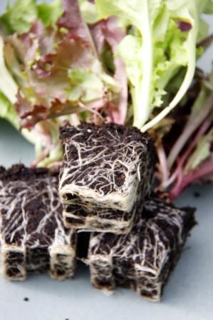 Lettuce 04