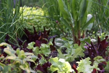 Lettuce 06