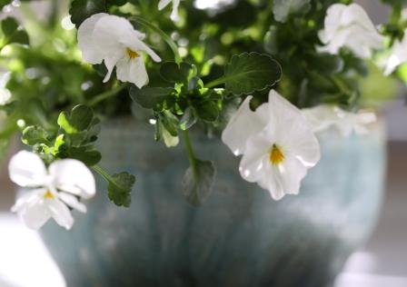White Violas 1