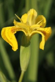 Pond Iris 02