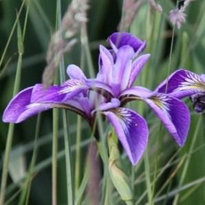 Pond Iris 04