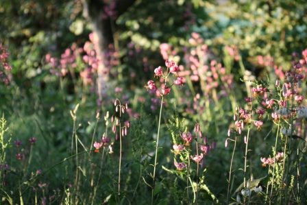 Evening Sun on Martagon Lilies 01