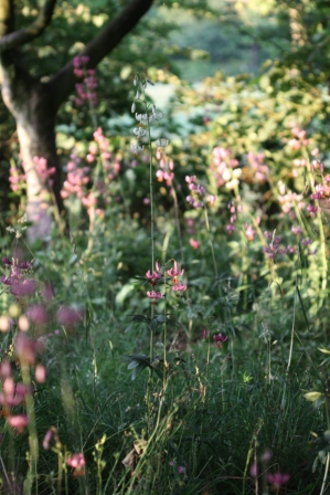 Evening Sun on Martagon Lilies 03
