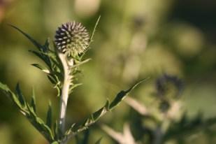 Echinops ritro 01