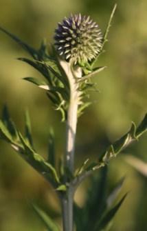 Echinops ritro 02