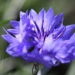 Cornflower 02