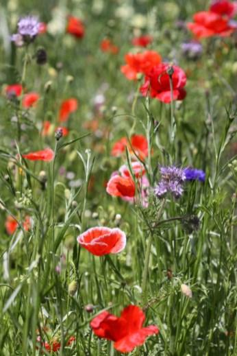 Wildflower Meadow 01