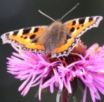 Butterfly feeding on Aster