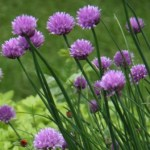 Pot up chives for winter