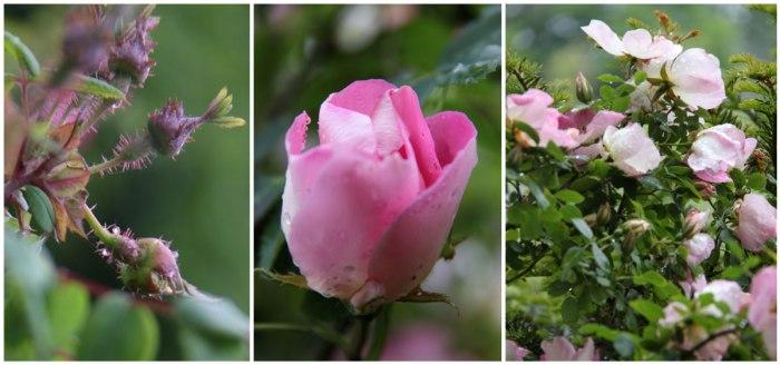 Shrub-Rose-Collage